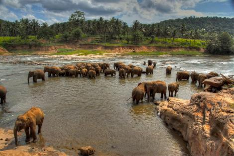 A herd of Sri Lankan Elephants