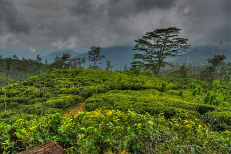 Tea plantations in the mountainous areas sri lanka