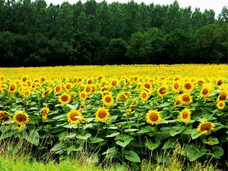alex Alexs Alex's Cycle Fields of Sunflowers, cycling through SW France