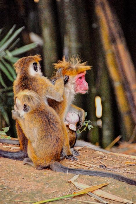 A family of monkeys grooming themselves, Sri Lanka