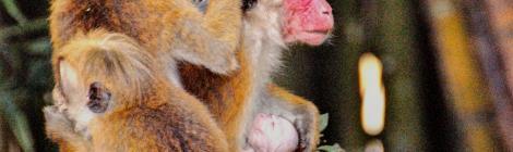 alex Alexs Alex's Cycle A family of monkeys grooming themselves, Sri Lanka