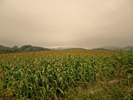 Maize field in Wales with misty mountains in the distance